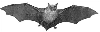 bat-large-BW