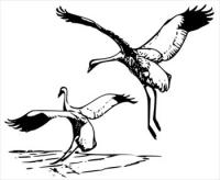 whooping-Crane-2