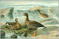 Lesser-White-fronted-Goose
