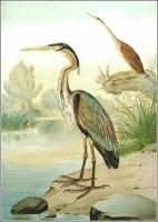 Purple-Heron