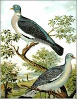 Wood-Pigeon-Ring-Dove