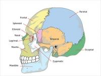 Human-skull-side-simplified