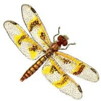 amber-wing-dragonfly-female
