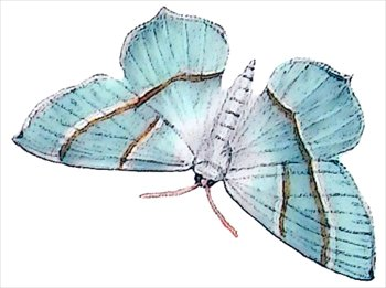 Light-Emerald-Campaea-margatitaria
