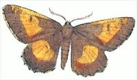 orange-moth-Angorona-prunaria