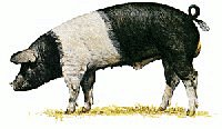 Saddleback-Pig